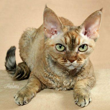 File:Devon Rex cat.jpg