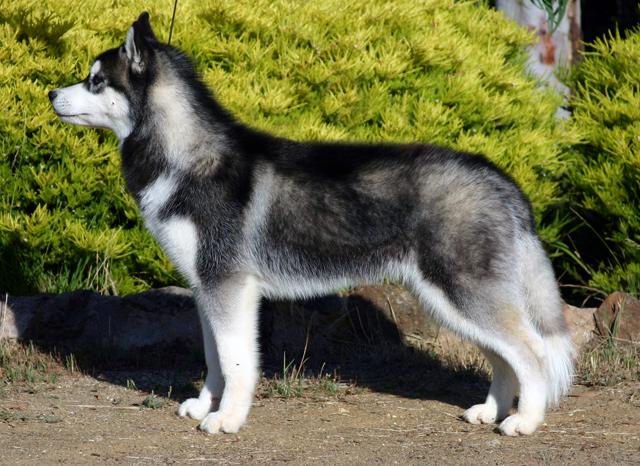 File:Siberian-husky.jpg
