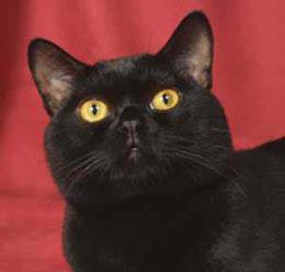 File:Bombay cat 2.jpg