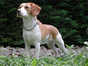 Beagle Upsy