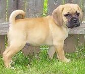 Puggle puppy1