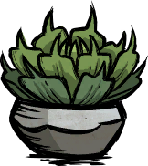 Potted Succulent