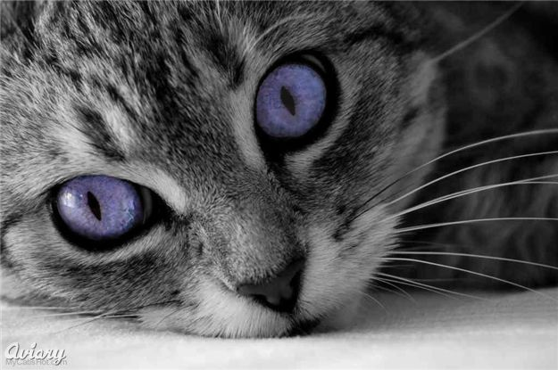 File:Amethyst Cat.jpg