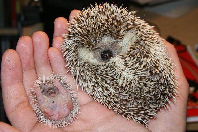 File:Hedgehog-and-baby-hedgehog.jpeg