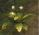 Chonchinis (plant)