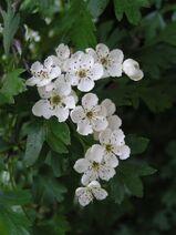 Common hawthorn flowers