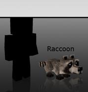 Image-raccoon