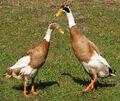 Runner-ducks