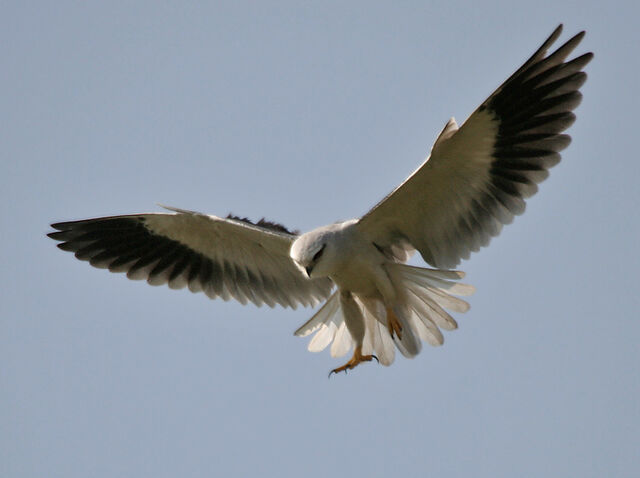 File:Black-Winged Kite.jpg
