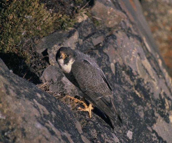 File:Peregrin Falcon.jpg