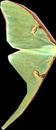 File:Luna Moth wing.png