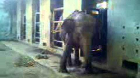 The Elephants at Surabaya Zoo (Indonesia)