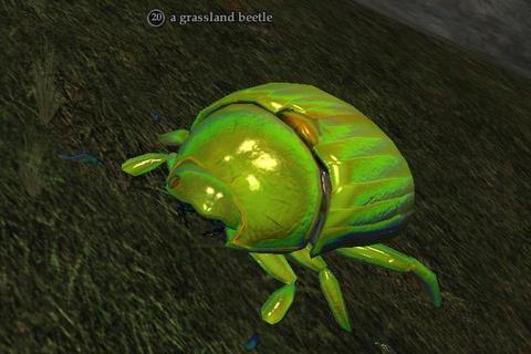 File:Grassland beetle.jpg