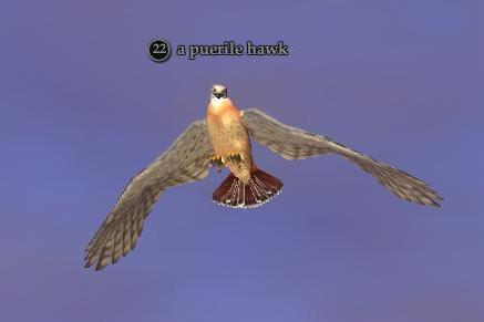 File:Puerile hawk.jpg