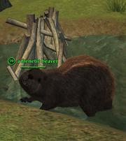 A frenetic beaver