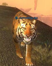 A feral boldstripe tiger