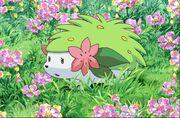 P11 Shaymin en un campo de flores.jpg