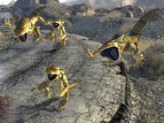 Golden geckos