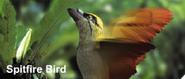 Spitfire bird