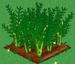 Asparagus extra100