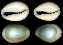 Opal cowries