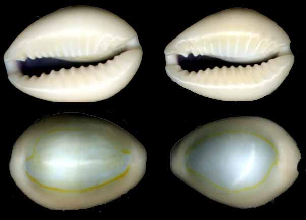 File:Opal cowries.jpg