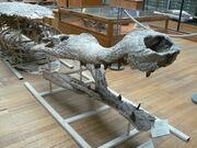 Sarcosuchus imperator side
