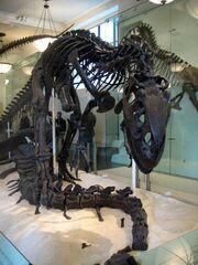 Allosaurus skeleton 2