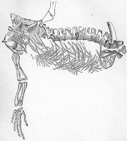 Protorosaurus Speneri