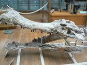 Sarcosuchus imperator skull side