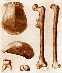 Pithecanthropus-erectus