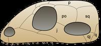 Skull synapsida 1