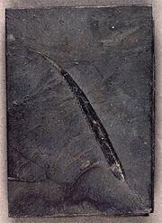 Tristychius spine 1