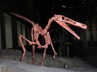 Buitreraptor skeleton1