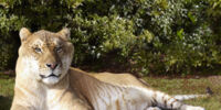 Liger (Hybrid Age)
