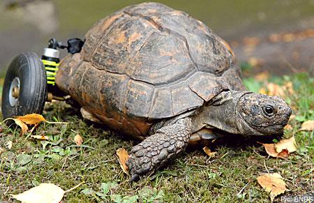 File:TortoisetinaBNPS 450x291.jpg