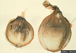 Onion Botrytis