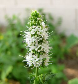 Apple mint Mentha suaveolens