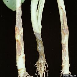 Tobacco Rhizoctonia solani (L&R) Sclerotinia (M)