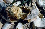 Courgette Sclerotinia Rot Sclerotinia sclerotiorum