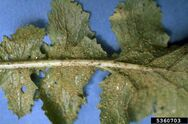 Turnip Aphids
