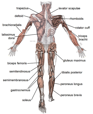File:Muscles back.png