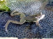 Frog in frogspawn