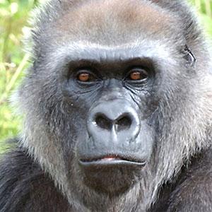 File:The ape.jpg