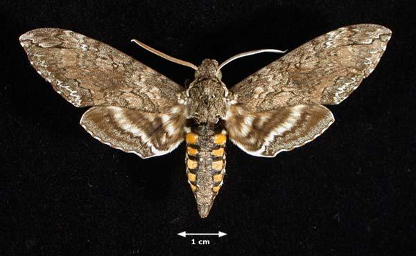 File:Manduca Sexta Moth.jpg