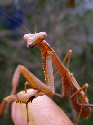 File:Brown mantis.jpg
