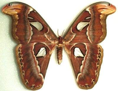 File:Moth1.jpg