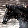 Podrick's Horse