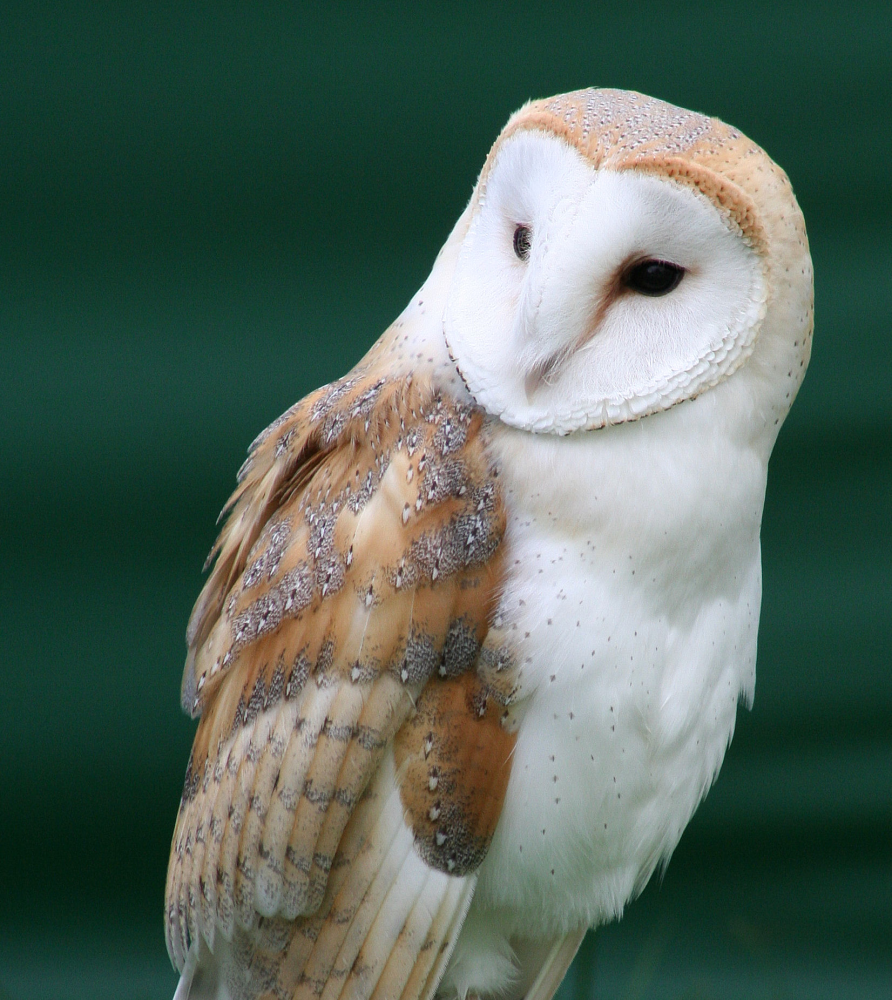 Image - Barn Owl.png | Guardians of Ga'Hoole Wiki | Fandom powered ...