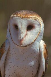 Species-Tyto-alba-2